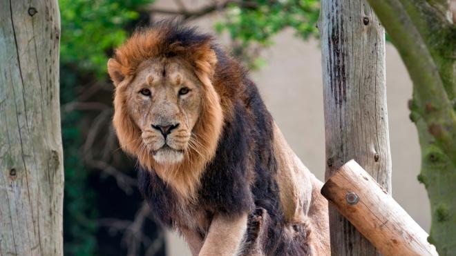 London Zoo: Asian Lions