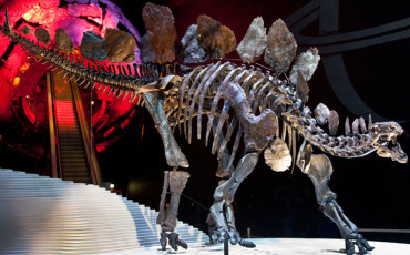 Natural History Museum: Stegosaurus Skeleton