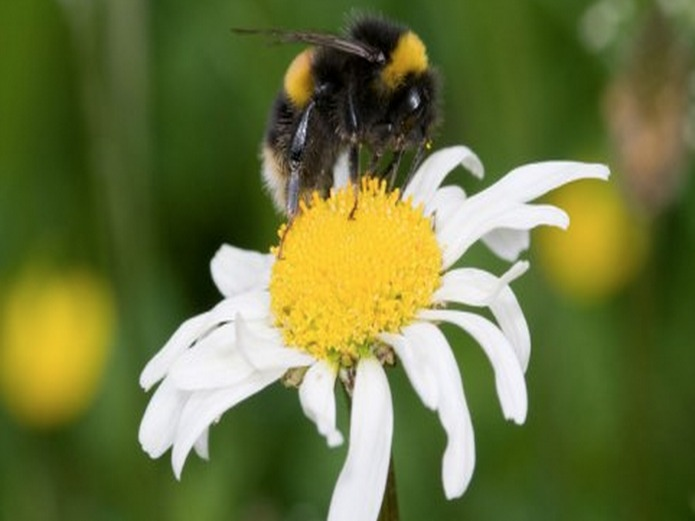 Natural History Museum: Wildlife Garden: Bumblebee
