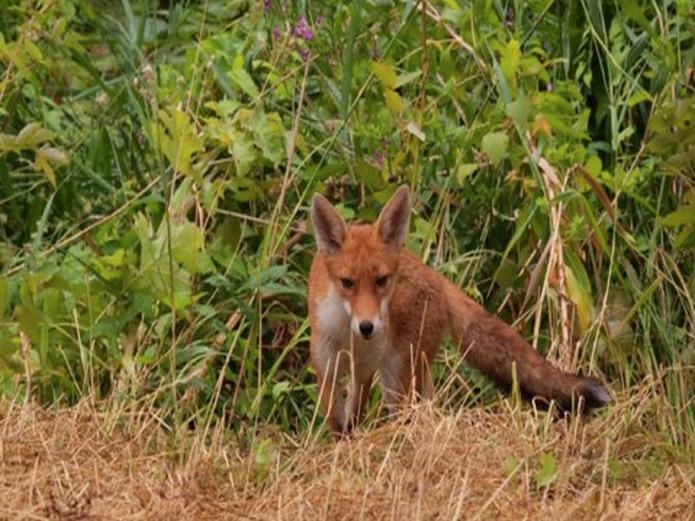 Natural History Museum: Wildlife Garden: Fox