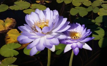 Kew Gardens - Waterlily
