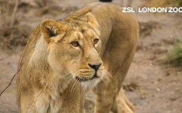ZSL London Zoo - Lion Rubi. Photo Credit: ©ZSL London Zoo.
