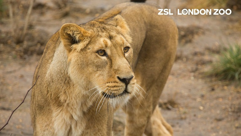 ZSL London Zoo - Lion Rubi. Photo Credit: ©ZSL London Zoo.