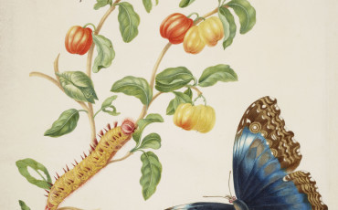 Branch of West Indian cherry with Achilles Morpho butterfly, 1701-05. Photo Credit: ©Royal Collection Trust/Her Majesty Queen Elizabeth II 2015.