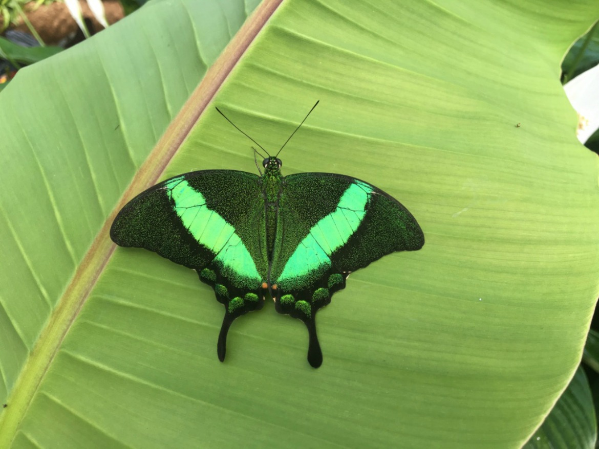 2016 RHS Hampton Court Palace Flower Show_Butterfly Dome_Black & Green Butterfly