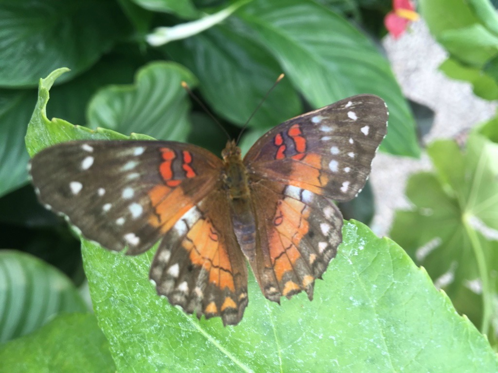 2016 RHS Hampton Court Palace Flower Show_Butterfly Dome_Brown & Orange Butterfly