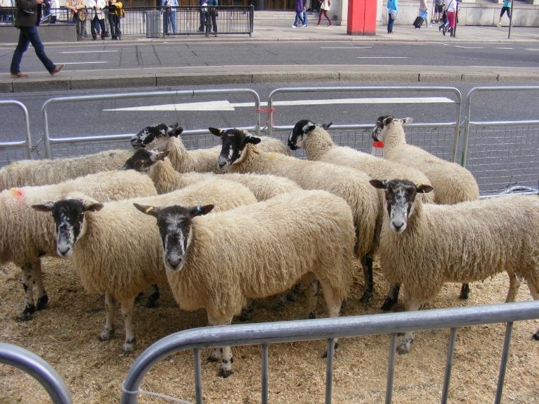 Sheep drive over London Bridge. Photo Credit: ©David Jagger.