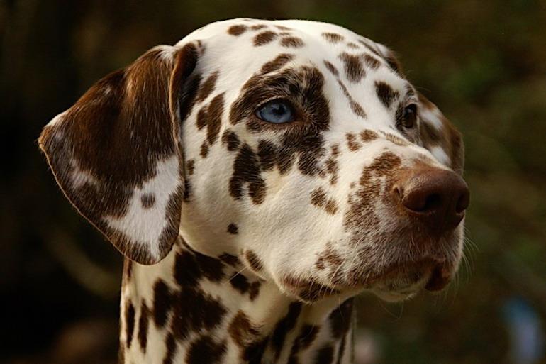 Blue Eye Dalmatian. Photo Credit: © Public Domain via Wikimedia Commons.