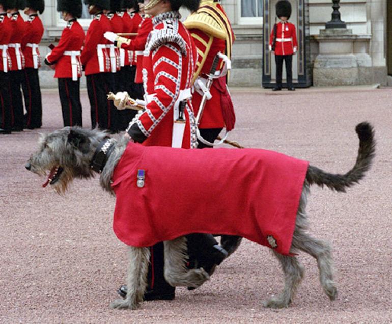 Irish Guards Irish Wolfhound Mascot. Photo Credit: © Elf via Wikimedia Commons.