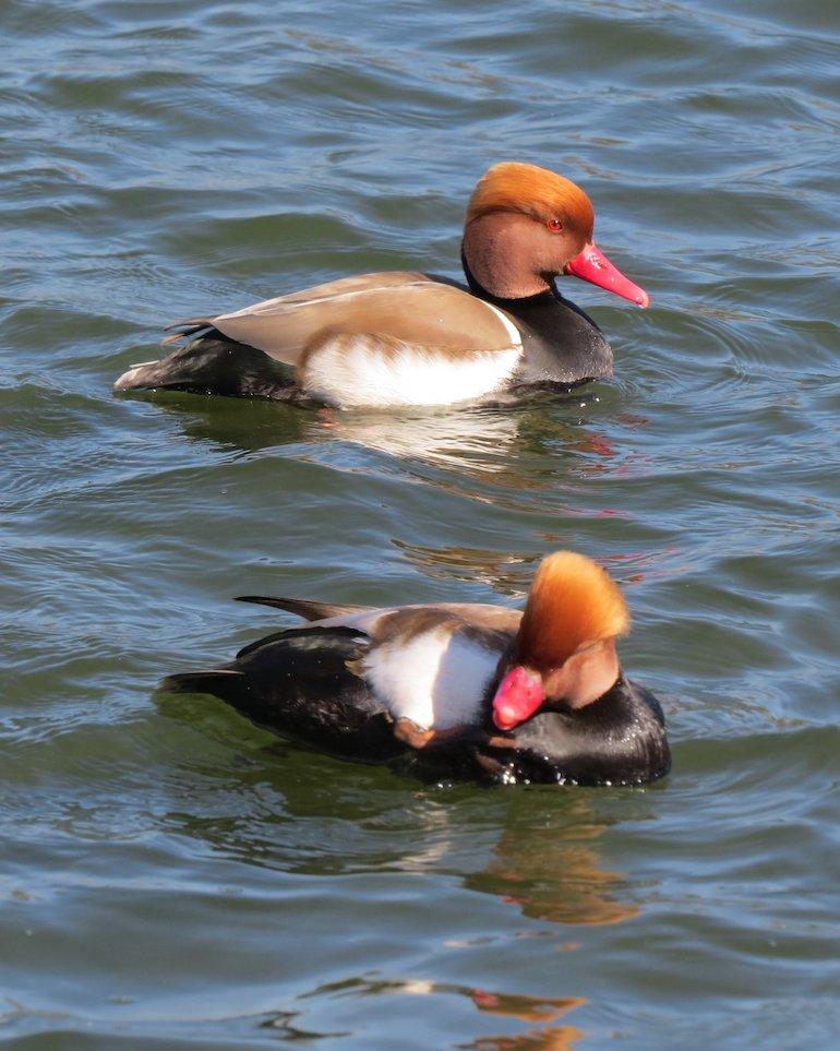 Pochard ducks on West Boating Lake, Victoria Park, Bow, East London. Photo Credit: ©Steve Fallon.