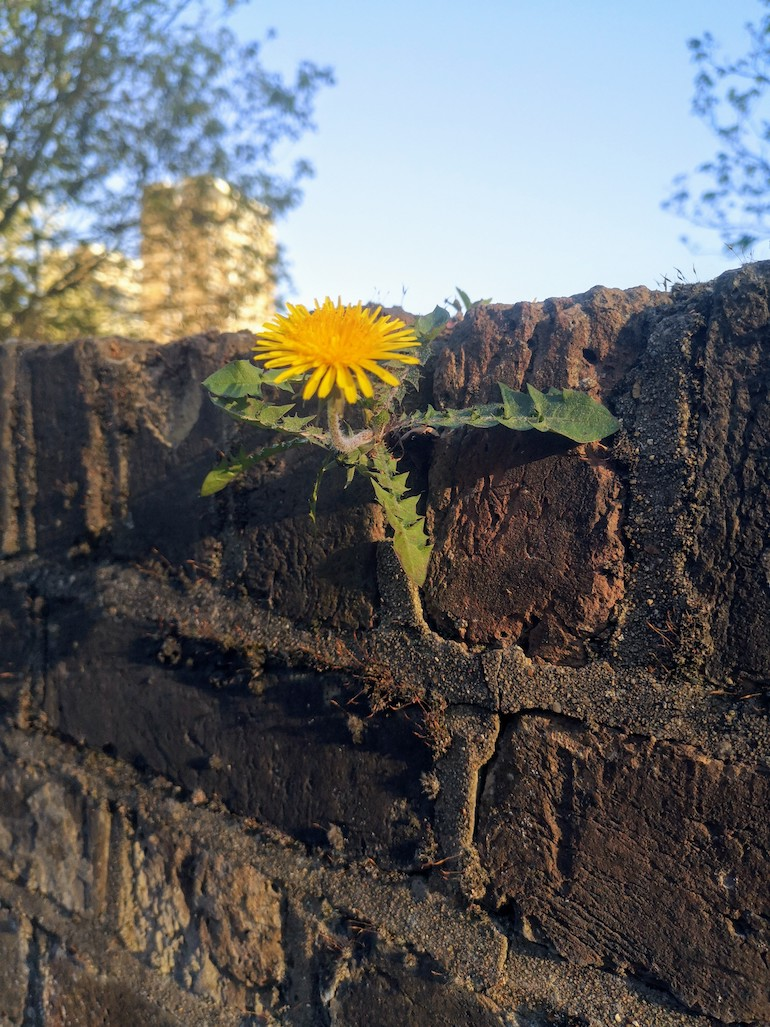 Dandelion growing in a brick wall near in Victoria Park, Bow, East London. Photo Credit: © Steve Fallon.