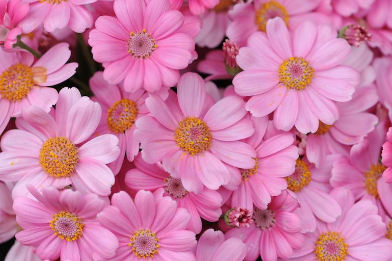 Pink aster flowers. Photo Credit: ©Karen Dawson.