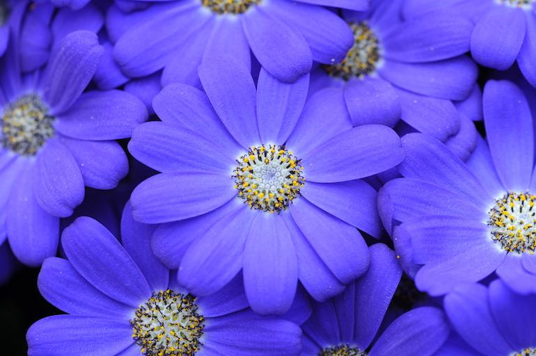 Purple aster flowers. Photo Credit: ©Karen Dawson.